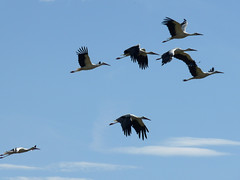 animal migration(1.0), animal(1.0), wing(1.0), fauna(1.0), flock(1.0), bird migration(1.0), crane-like bird(1.0), crane(1.0), bird(1.0), flight(1.0),