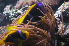 coral reef, animal, anemone fish, fish, coral reef fish, organism, marine biology, macro photography, fauna, underwater, reef, pomacanthidae, sea anemone,