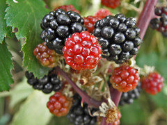 blackberry, berry, red mulberry, plant, frutti di bosco, produce, loganberry, fruit, food, boysenberry, dewberry,