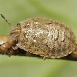 szarvas pajzsospoloska - Podops inunctus