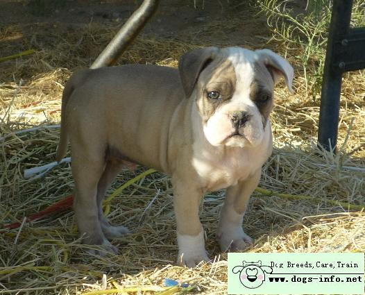 English Bulldog Siberian Husky Mix