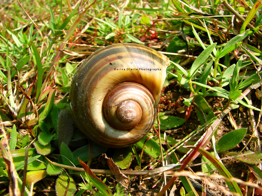 Caracol Manzana / Apple snail
