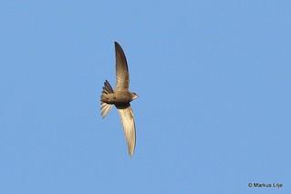 Pallid Swift, Morocco 2016