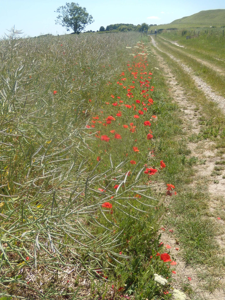 Poppies By track from Old Sarum. Salisbury to Stonehenge to Amesbury