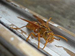 arthropod, animal, wasp, yellow, invertebrate, macro photography, membrane-winged insect, fauna, close-up, hornet, pest,