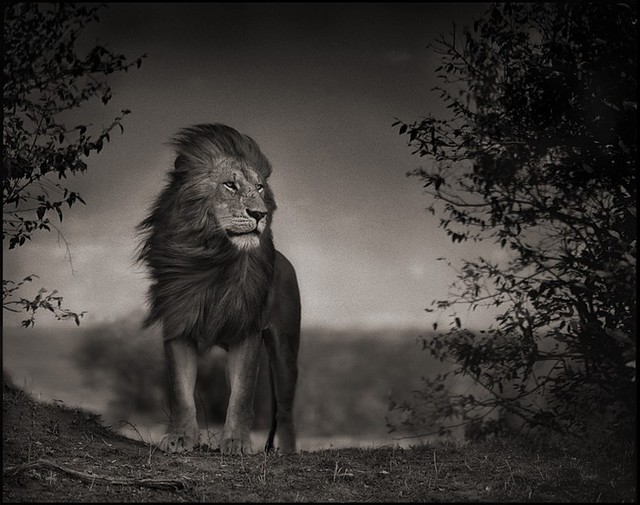 Lion Before Storm I, Massai Mara, by Nick Brandt 2006