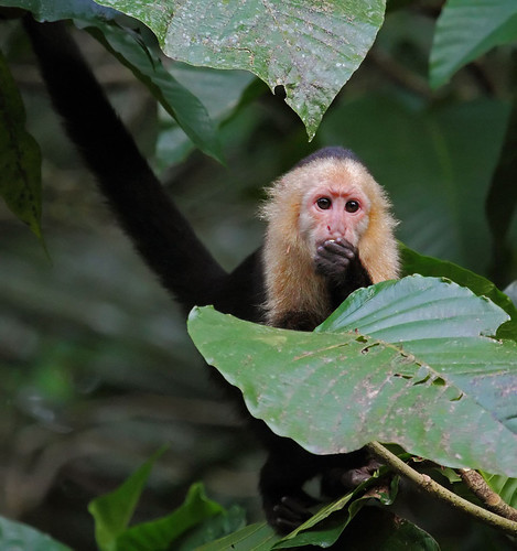 White-faced Capuchin, Tortuguero National Park