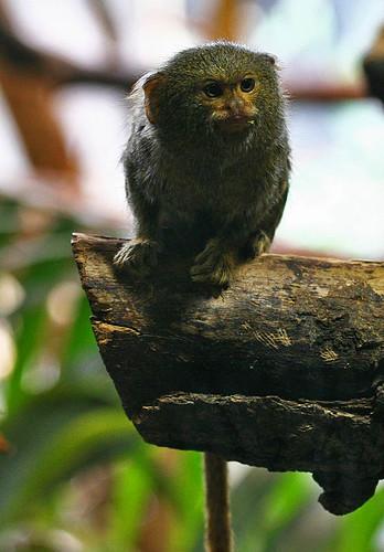 Dvärgsilkesapa. Callithrix pygmaea