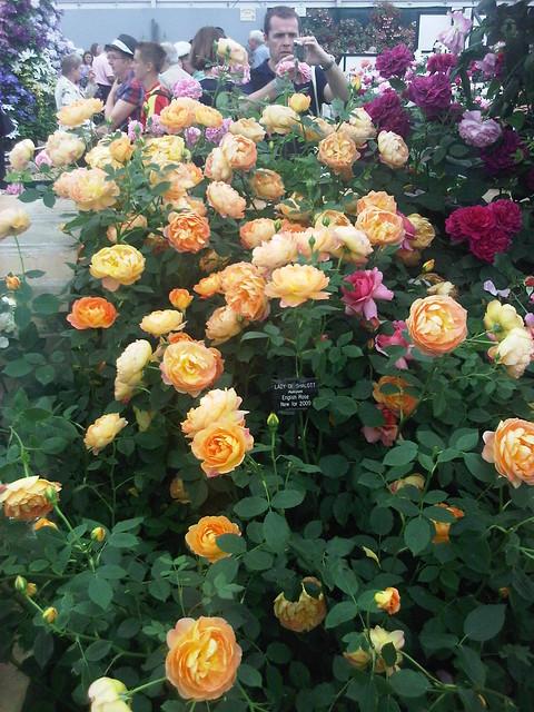lady of shalott rose - photo #9