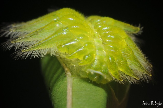 Crazy caterpillar