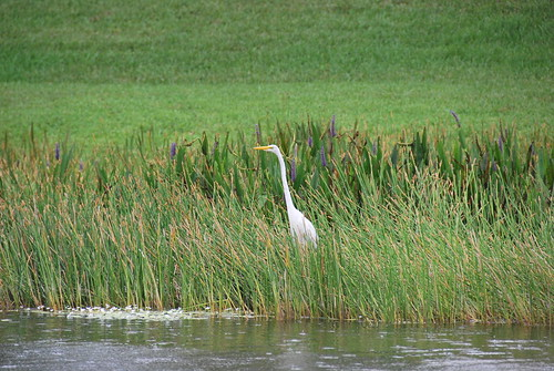 bird animal fauna florida egret greategret greatwhiteegret ardeaalba greatwhiteheron commonegret