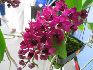 Rhynchostylis gigantea 'Red' self-seedling