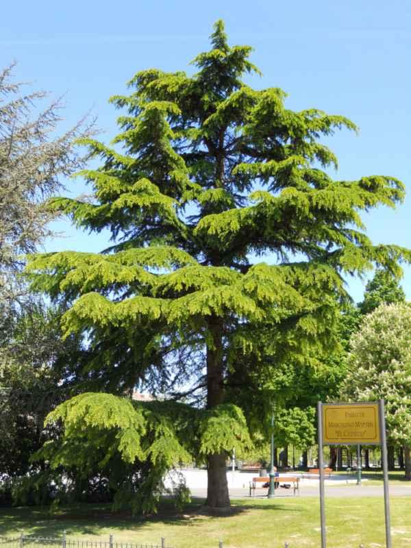 Cedrus libani árbol v 4