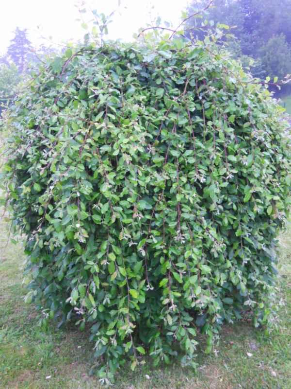 Salix caprea 'Pendula' v 3