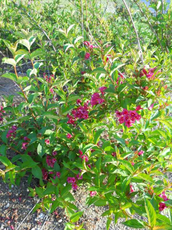 Weigela florida 'Eva Rathke' v 1