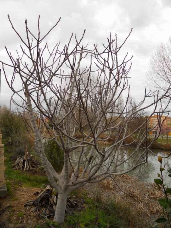 Ficus carica invierno v 4