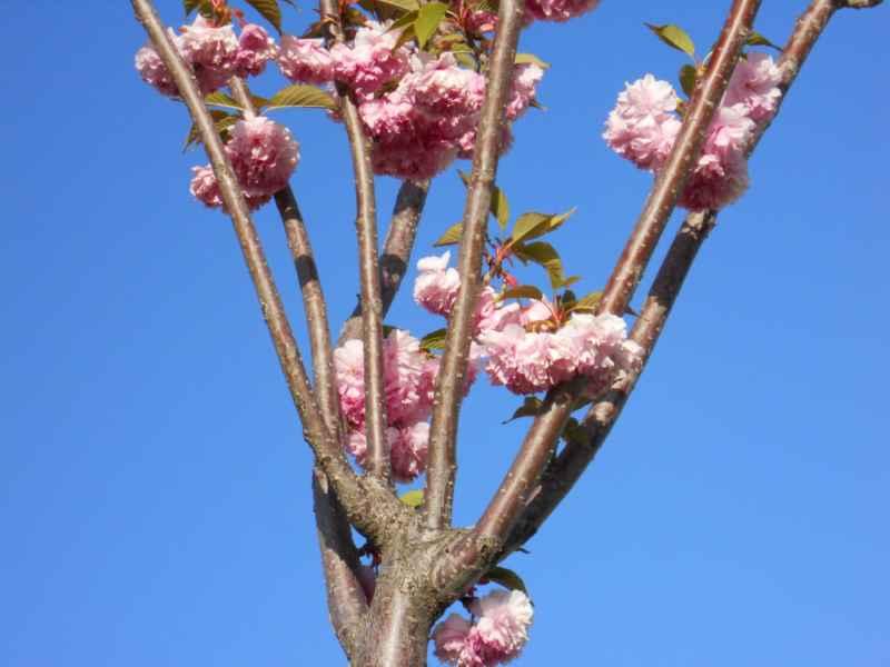 Prunus serrulata 'Kwanzan' 2