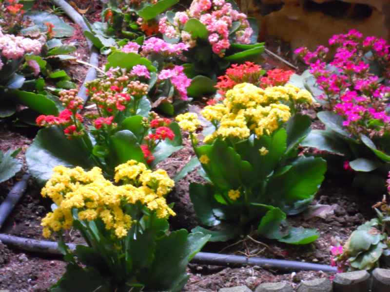 Kalanchoe blossfeldiana 'Bali' 1