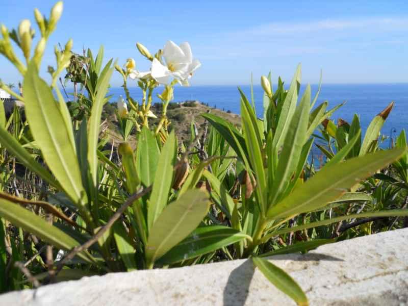 Nerium oleander 'Mont Blanc' 2
