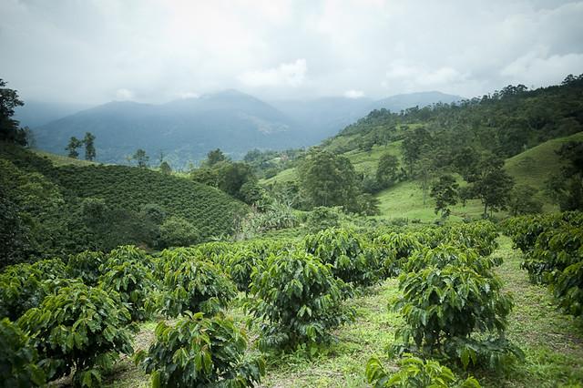 Imagen de un Cultivo de Café en El Paisaje Cultural Cafetero de Colombia