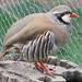 Birds: Pheasants, Grouse, Quail, and Turkey
