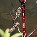 Variable Darner - Photo (c) Yankech gary, some rights reserved (CC BY-ND)