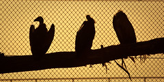 Afrikaanse gierenrots