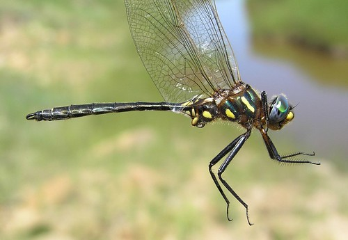 Plains Emerald [ Somatochlora ensigera ] male