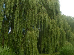 Willows on the Blackwater