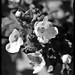 26 - 14 juillet 2010 Longpont Fleurissement de l'Auberge de l'Abbaye Fleurs blanches ©melina1965