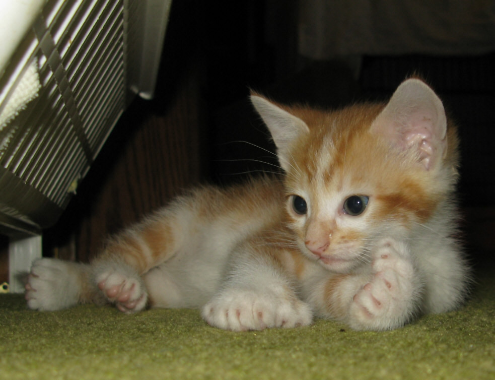 Stats  382 views   12 commentsOrange Polydactyl Cat