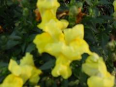 Yellow Snap-Dragon