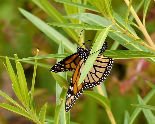 Monarch Life Cycle — 1 of 20