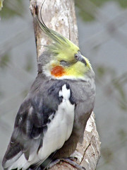 cockatoo, animal, parrot, wing, fauna, cockatiel, beak, bird, wildlife,