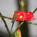 Small photo of Long-tailed Sylph (Aglaiocercus kingi)