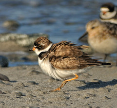 Semipalmated Plover in a mini sand storm