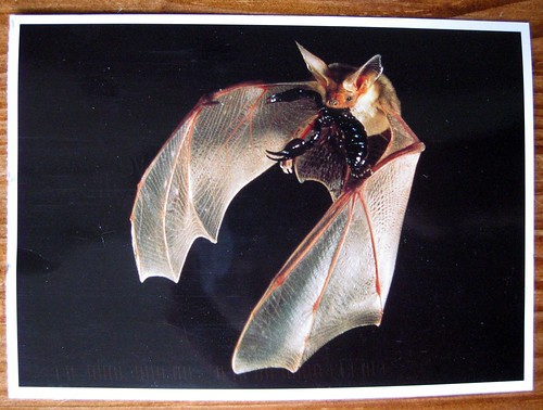 Pallid bat with scorpion