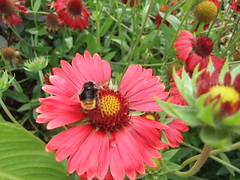 nectar(0.0), purple coneflower(0.0), gaillardia(1.0), annual plant(1.0), flower(1.0), plant(1.0), invertebrate(1.0), membrane-winged insect(1.0), herb(1.0), flora(1.0), bee(1.0), petal(1.0),