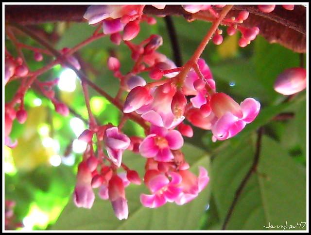 Photo:Star-fruit-- 楊桃02 By jennyhsu47