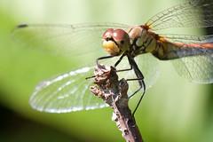 Dragonfly (Sympetrum vulgatum)