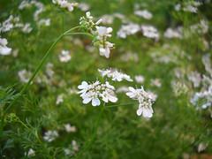 flower, cow parsley, plant, nature, herb, wildflower, flora, meadow, caraway,