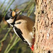 Great spotted woodpecker by gillybooze