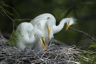 Great White Egrets on nest