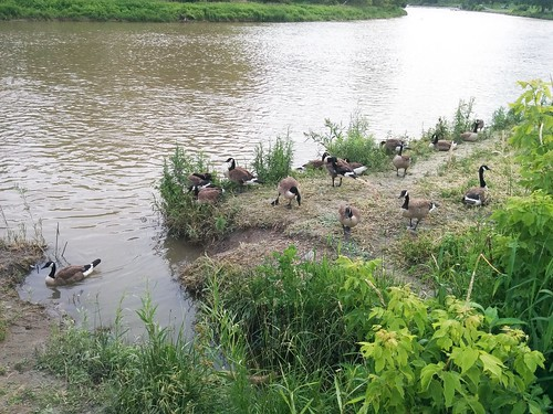 Canada geese by the shore (2)