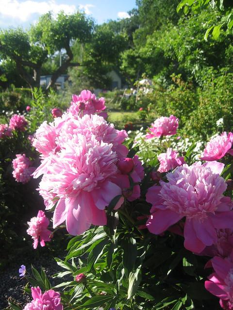 Rosa pioner