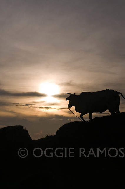 BP Batanes Viang Hills Cow Sunset