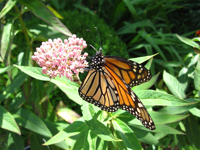 A monarch butterfly looks for nectar on a milkweed in the Perennial Border. Photo by Rebecca Bullene.