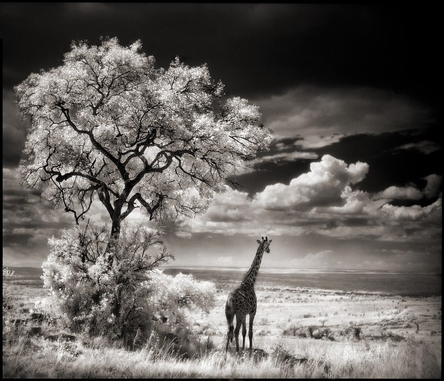 Giraffe Looking Out over Plains, Serengeti, by Nick Brandt 2002