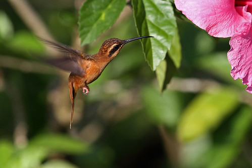Stripe-throated Hermit, Corcovado National Park