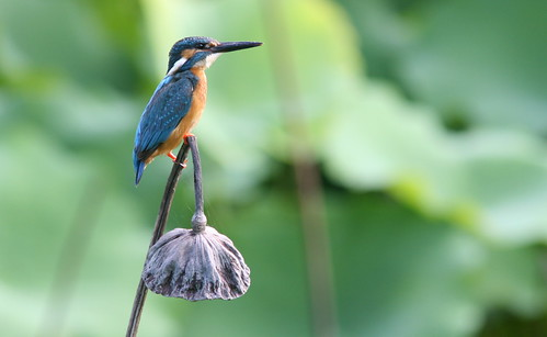 Kingfisher Contemplation